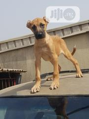 Baby Male Mixed Breed Boerboel | Dogs & Puppies for sale in Lagos State, Ikorodu