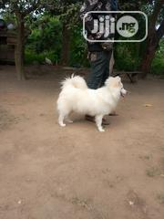 Adult Male Purebred American Eskimo Dog | Dogs & Puppies for sale in Oyo State, Ibadan South East