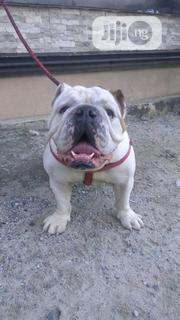 Adult Male Purebred Bulldog | Dogs & Puppies for sale in Rivers State, Port-Harcourt