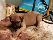 Baby Female Mixed Breed Bullmastiff | Dogs & Puppies for sale in Edo State, Benin City