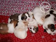 Baby Female Purebred Shih Tzu | Dogs & Puppies for sale in Lagos State, Magodo