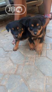 Baby Female Purebred Rottweiler   Dogs & Puppies for sale in Abuja (FCT) State, Kubwa