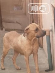 Young Female Purebred Boerboel | Dogs & Puppies for sale in Lagos State, Magodo