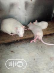 Its A Pure White Mouse | Other Animals for sale in Lagos State, Ikorodu