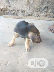Baby Male Purebred German Shepherd Dog | Dogs & Puppies for sale in Oyo State, Egbeda