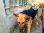 Senior Female Purebred German Shepherd Dog | Dogs & Puppies for sale in Osun State, Osogbo
