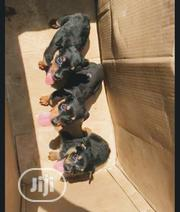Baby Female Purebred Rottweiler | Dogs & Puppies for sale in Lagos State, Kosofe