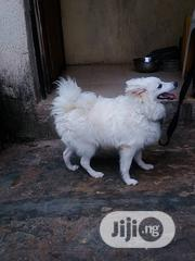 Adult Male Purebred American Eskimo Dog | Dogs & Puppies for sale in Oyo State, Ibadan
