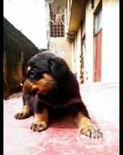 Baby Male Purebred Rottweiler | Dogs & Puppies for sale in Lagos State, Oshodi-Isolo