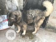 Adult Male Purebred Caucasian Shepherd Dog | Dogs & Puppies for sale in Ogun State, Ado-Odo/Ota