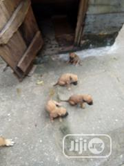 Baby Female Mixed Breed Boerboel | Dogs & Puppies for sale in Abia State, Umuahia