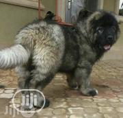 Young Female Purebred Caucasian Shepherd Dog | Dogs & Puppies for sale in Lagos State, Magodo