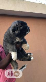 Young Female Purebred Caucasian Shepherd Dog | Dogs & Puppies for sale in Abuja (FCT) State, Maitama