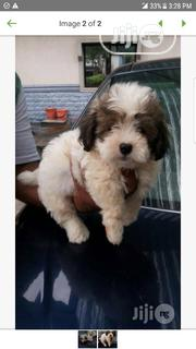Young Female Purebred Lhasa Apso | Dogs & Puppies for sale in Abuja (FCT) State, Nyanya