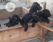Baby Male Purebred Cane Corso | Dogs & Puppies for sale in Lagos State, Badagry