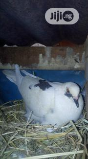 Homing Pigeon Forsale | Birds for sale in Abia State, Aba North