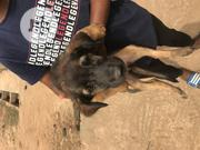 Baby Male Purebred German Shepherd Dog | Dogs & Puppies for sale in Lagos State, Ikotun/Igando