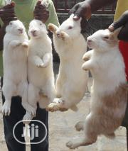 Rabbits For Breeding And Consumption | Livestock & Poultry for sale in Lagos State, Ifako-Ijaiye