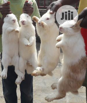 Rabbits For Breeding And Consumption