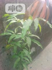 MANGO Tree For Sale   Feeds, Supplements & Seeds for sale in Rivers State, Obio-Akpor