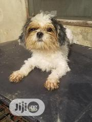 Pure Adult Lhasa Apso Available For Mating(Crossing)   Other Animals for sale in Lagos State, Lagos Mainland