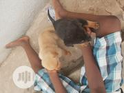 Baby Female Mixed Breed Rottweiler | Dogs & Puppies for sale in Lagos State, Ikotun/Igando