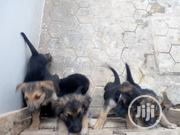 Baby Male Purebred German Shepherd Dog | Dogs & Puppies for sale in Oyo State, Lagelu
