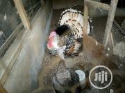 Turkey For Sale | Livestock & Poultry for sale in Lagos State, Ikorodu