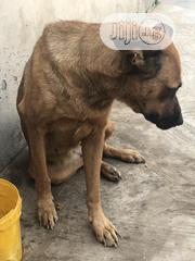 Adult Female Mixed Breed German Shepherd Dog | Dogs & Puppies for sale in Oyo State, Oluyole