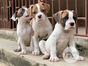 Baby Male Purebred Bulldog | Dogs & Puppies for sale in Rivers State, Port-Harcourt