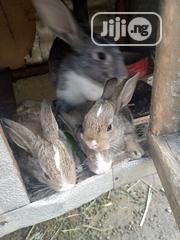 Rabbit Kittens | Livestock & Poultry for sale in Rivers State, Port-Harcourt