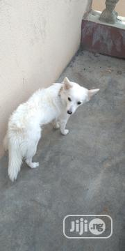 Adult Female Purebred American Eskimo Dog | Dogs & Puppies for sale in Osun State, Osogbo