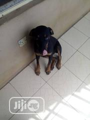 Young Female Purebred Rottweiler | Dogs & Puppies for sale in Oyo State, Ido