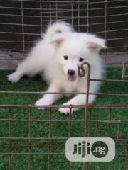Young Male Purebred American Eskimo Dog | Dogs & Puppies for sale in Ogun State, Ado-Odo/Ota