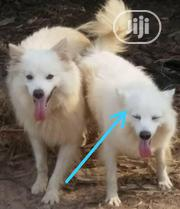 Adult Female Purebred American Eskimo Dog | Dogs & Puppies for sale in Ogun State, Ado-Odo/Ota