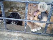 Baby Male Mixed Breed Boerboel   Dogs & Puppies for sale in Rivers State, Port-Harcourt