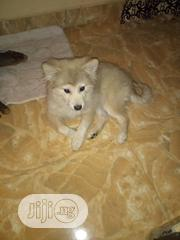 Senior Male Purebred American Eskimo Dog | Dogs & Puppies for sale in Abuja (FCT) State, Nyanya