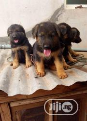 Young Female Purebred German Shepherd Dog | Dogs & Puppies for sale in Benue State, Agatu