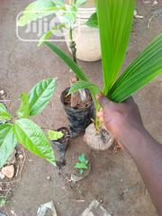 Dwarf Coconut Seedlings Are For Sale At Affordable Prices | Feeds, Supplements & Seeds for sale in Oyo State, Ona-Ara