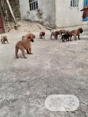 Young Male Mixed Breed Boerboel | Dogs & Puppies for sale in Rivers State, Obio-Akpor