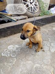 Baby Male Mixed Breed Bullmastiff   Dogs & Puppies for sale in Imo State, Owerri