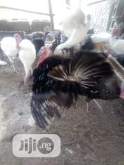 Turkey Is For Sale   Livestock & Poultry for sale in Oyo State, Saki West