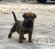 Baby Female Mixed Breed Rottweiler | Dogs & Puppies for sale in Rivers State, Port-Harcourt