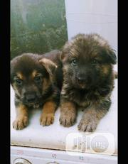 Baby Male Purebred German Shepherd Dog | Dogs & Puppies for sale in Lagos State, Ilupeju