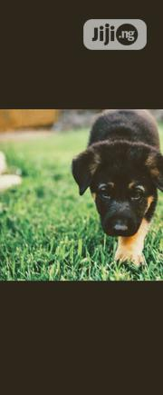 Baby Male Purebred German Shepherd Dog | Dogs & Puppies for sale in Lagos State, Maryland