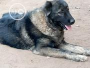Adult Female Purebred Caucasian Shepherd Dog | Dogs & Puppies for sale in Ogun State, Ado-Odo/Ota