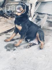 Adult Female Mixed Breed Rottweiler | Dogs & Puppies for sale in Oyo State, Lagelu
