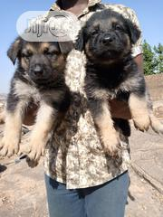 Young Male Purebred German Shepherd Dog | Dogs & Puppies for sale in Plateau State, Jos North