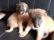 Baby Male Purebred Caucasian Shepherd Dog | Dogs & Puppies for sale in Ogun State, Ado-Odo/Ota
