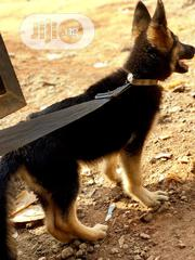 Young Male Purebred German Shepherd Dog | Dogs & Puppies for sale in Abuja (FCT) State, Mpape